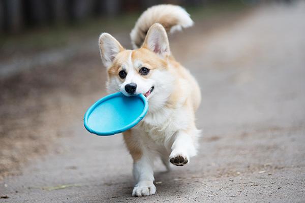 Small dog holding frisbee