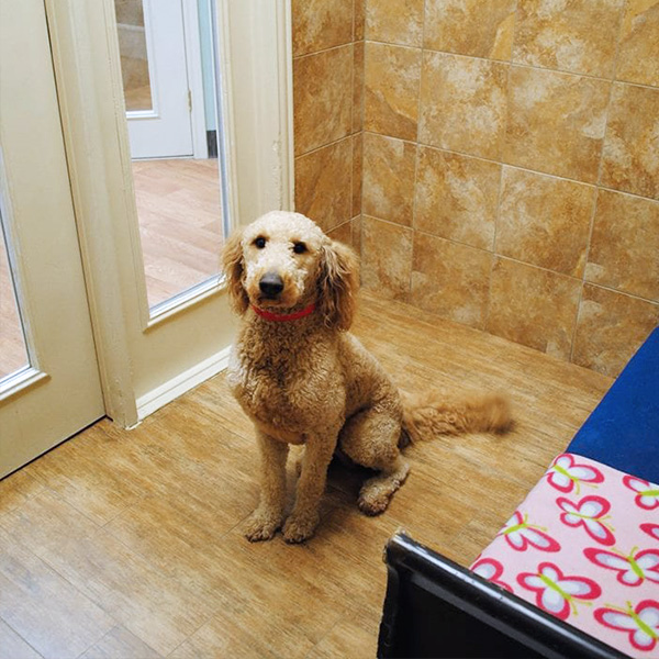 Retriever in dog boarding suite
