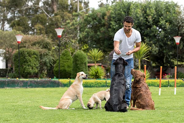 Man training a group of dogs